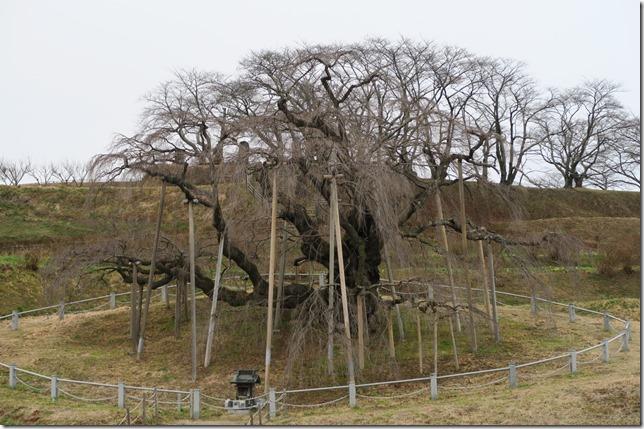 三春滝桜2016年の開花予想と見頃の画像