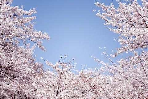 2015年度版 三春滝桜の見頃とバスツアーのご案内